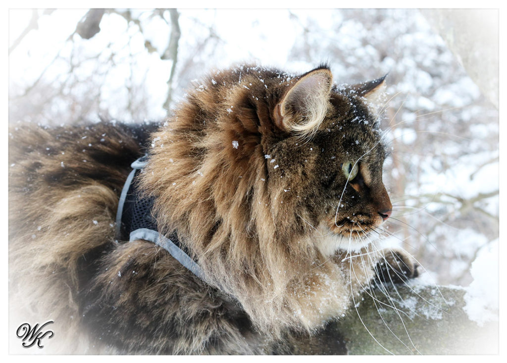 Winter Kot Siberians