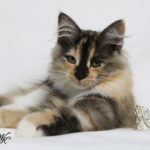 Enya Thea of Winter Kot Siberians